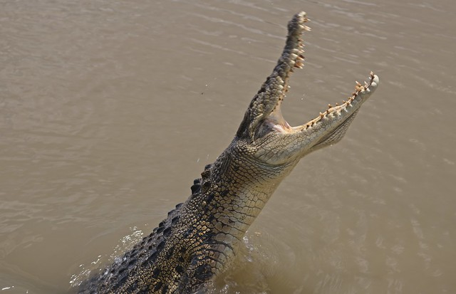 Old salty - the Adelaide River croc