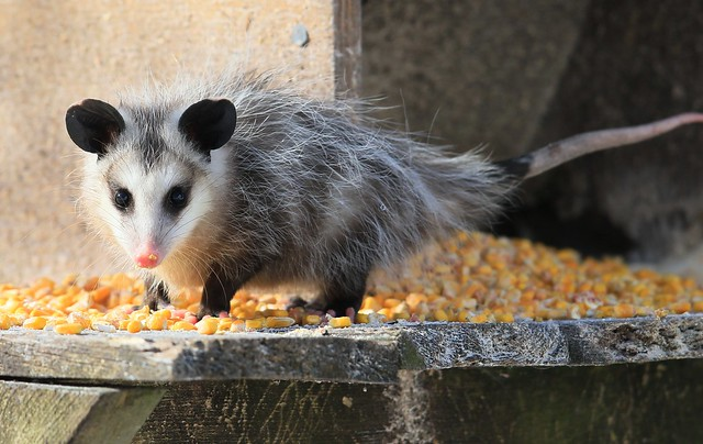 Virginia opossum at Lime Springs IA 653A4111