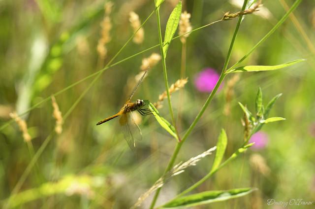 Southern skimmer female (Orthetrum brunneum)
