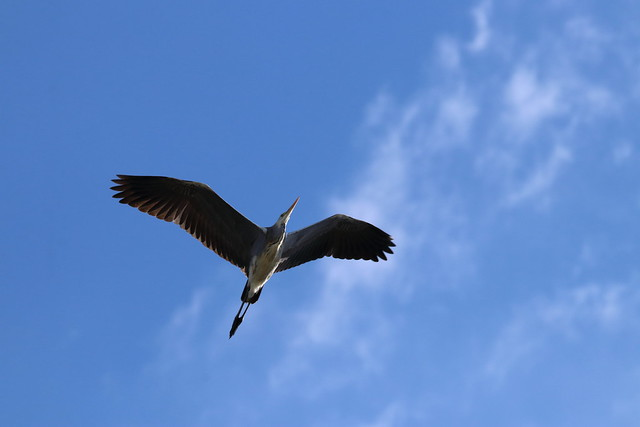 アオサギ Grey Heron