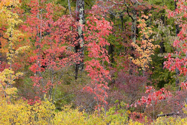 Maples at Fall