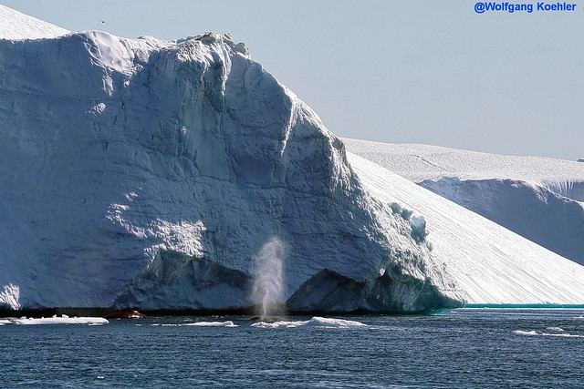 Humpback whale blowing, Disko Bay, Greenland. (another one behind him or her)