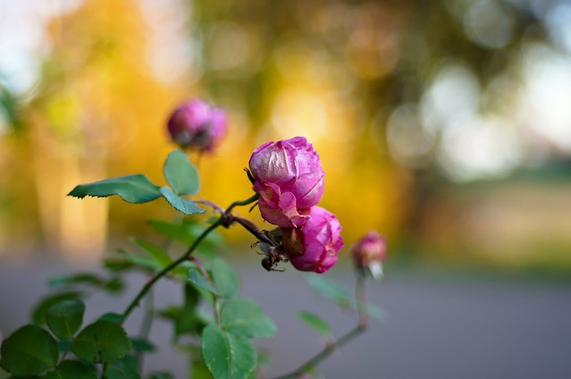 October roses