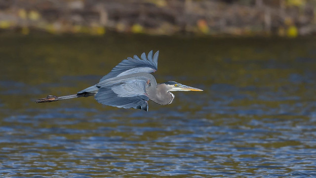 Great Blue Heron 9336