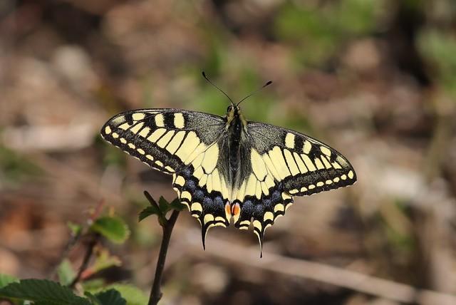 Schwalbenschwanz (Papilio machaon) (2)