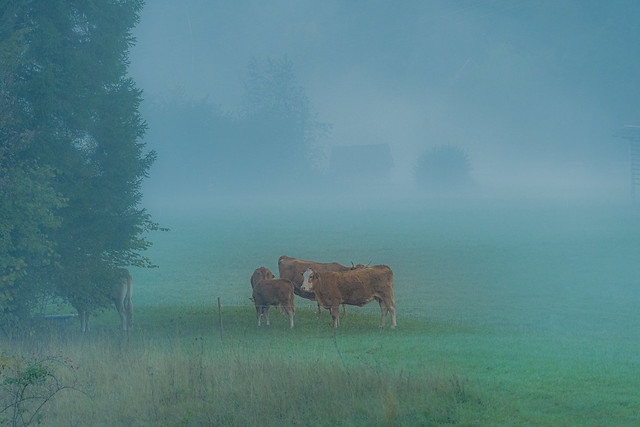 Morning mist on the pasture