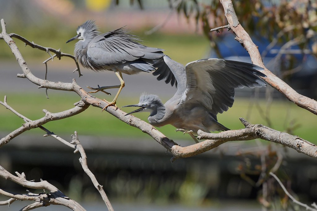White -faced Herons ( Juv. here comes food )