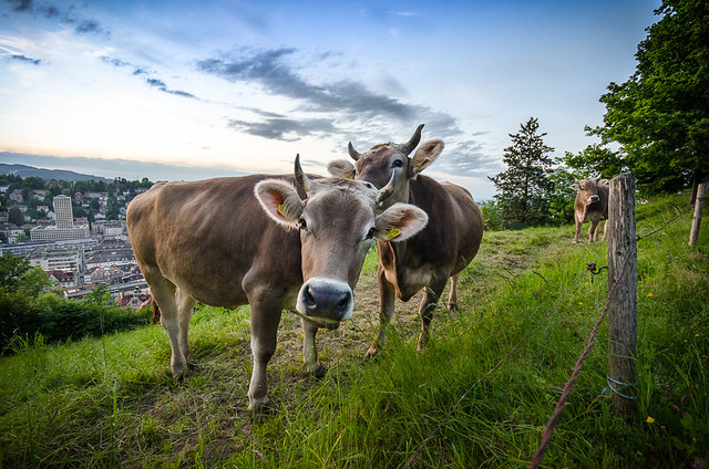 Two brown cows in a green meadow