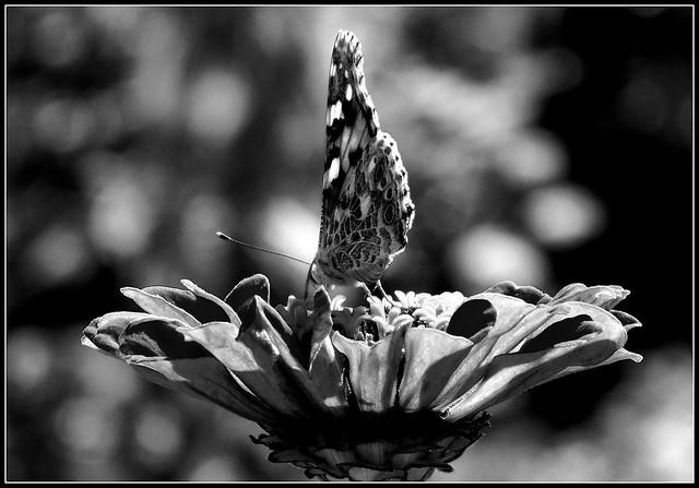 Motyl B&W.