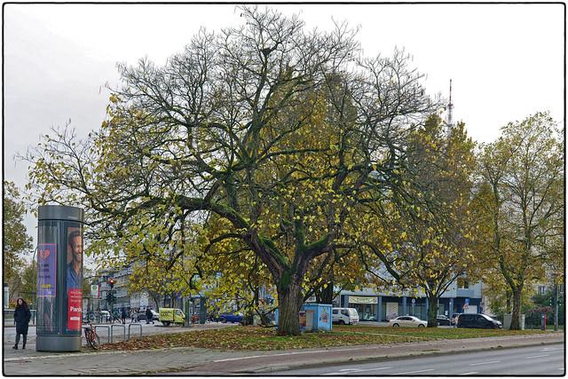 Gewöhnlicher Trompetenbaum • Catalpa bignonioides im November