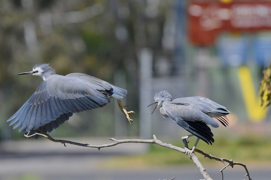 White -faced Herons ( come back )