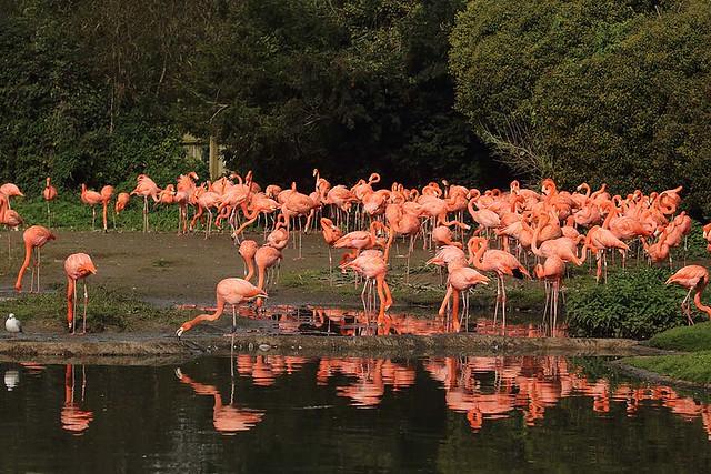 Caribbean flamingos, WWT Slimbridge, UK