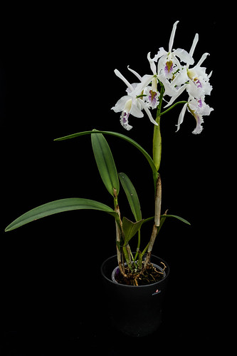 101119 Cattleya maxima semialba (concolor x self)(from BlueCattleya) (1) | by sabine_furtwaengler