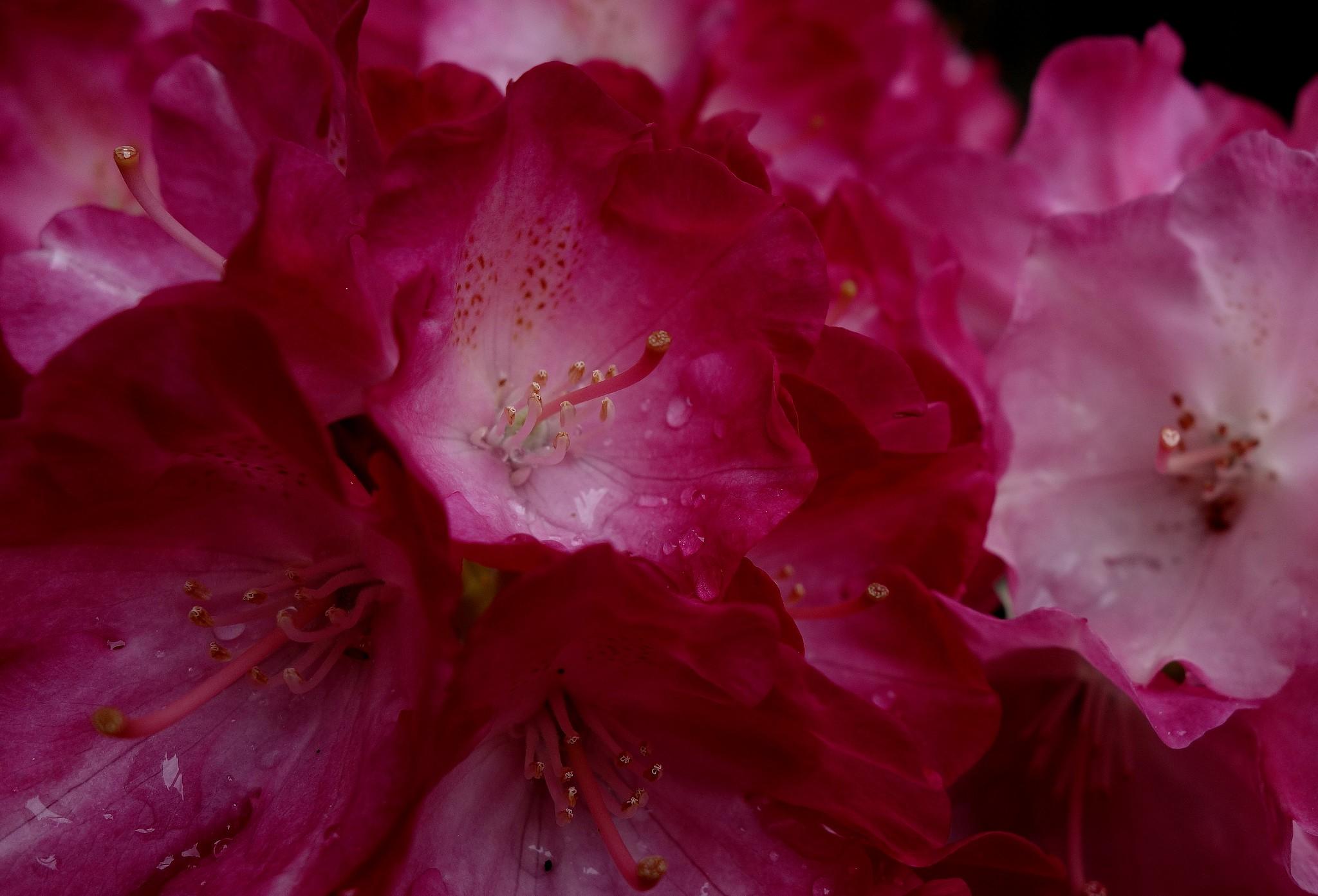 Blumen, Blüten, blossoms and flowers (serie) red, 76792/12084