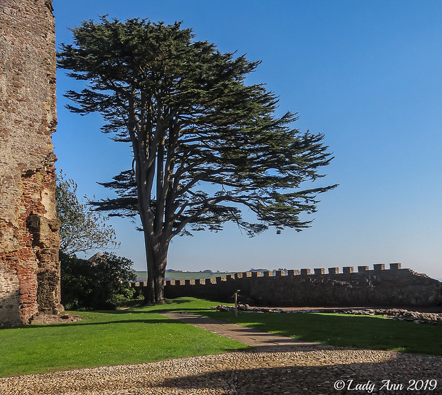 Yew Tree at Laugharne Castle