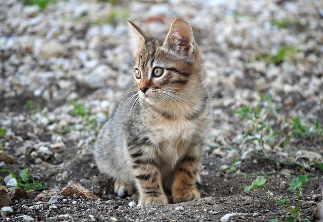 Sardinian kitten - Gatito sardo