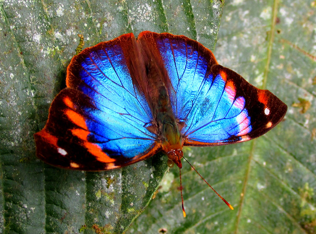 Epiphile epimenes epimenes (Lepidoptera: Nymphalidae)