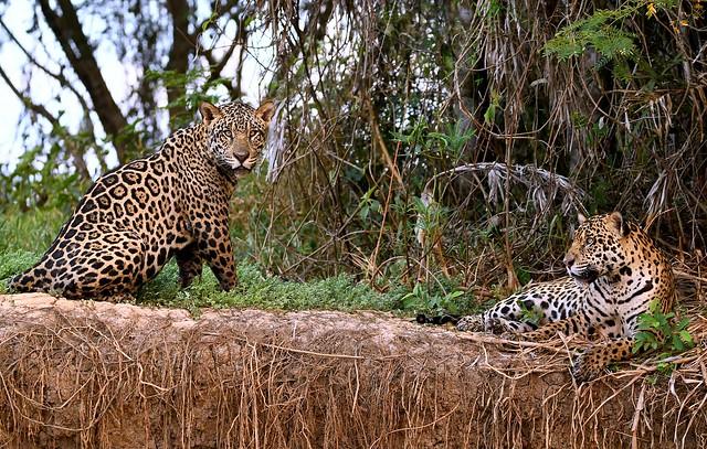 Jaguars of The Pantanal, Brazil.