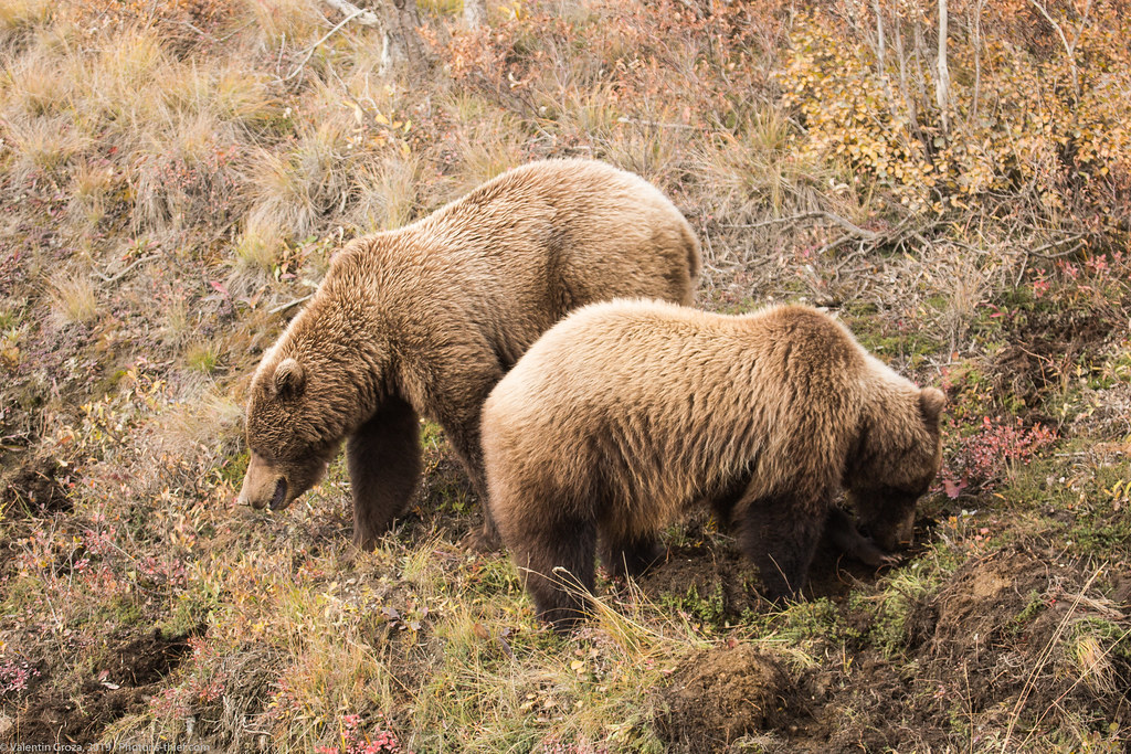 Denali NP 25 Grizzly 01 med (1 of 1)
