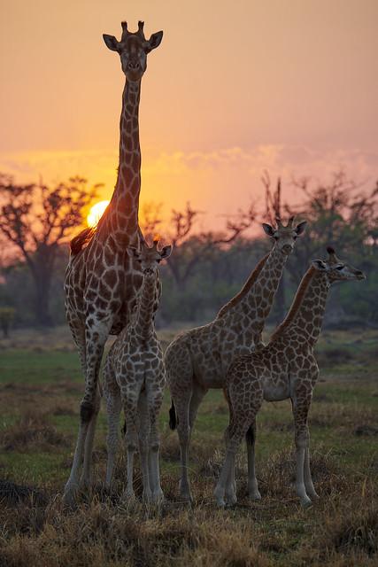 Girafes #1 [ Delta de l'Okavango ~ Botswana ]