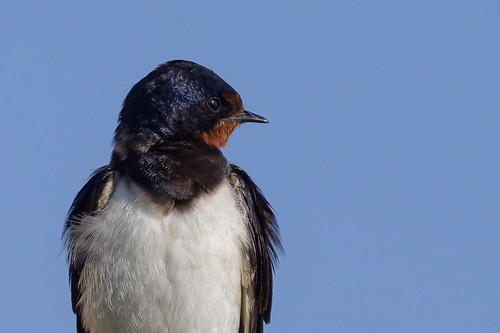 Oreneta vulgar - Hirondelle rustique - Hirundo rustica - Barn swallow