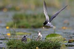 Black Tern feeding a butterfly (Chlidonias niger) Zwarte stern
