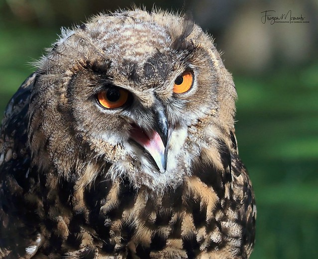 UHU/Eagle owl