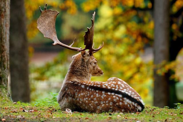 Before Dawn | Fallow Deer