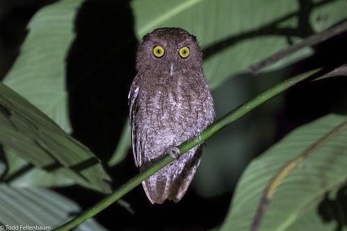 CA3I6797-Choco Screech Owl