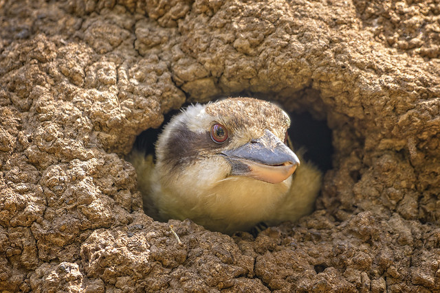 nesting jackass