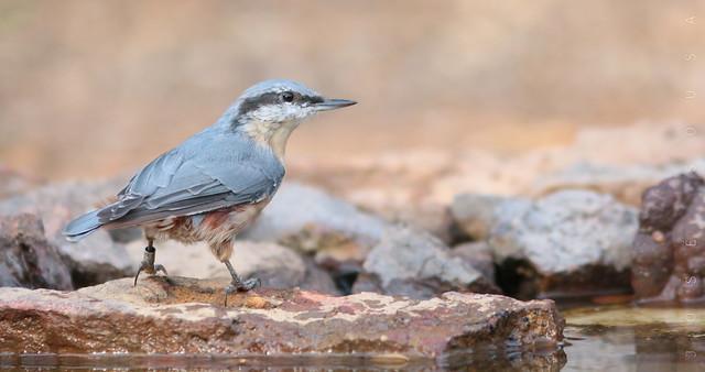 Trepadeira-azul - Sitta europaea - Wood Nuthatch