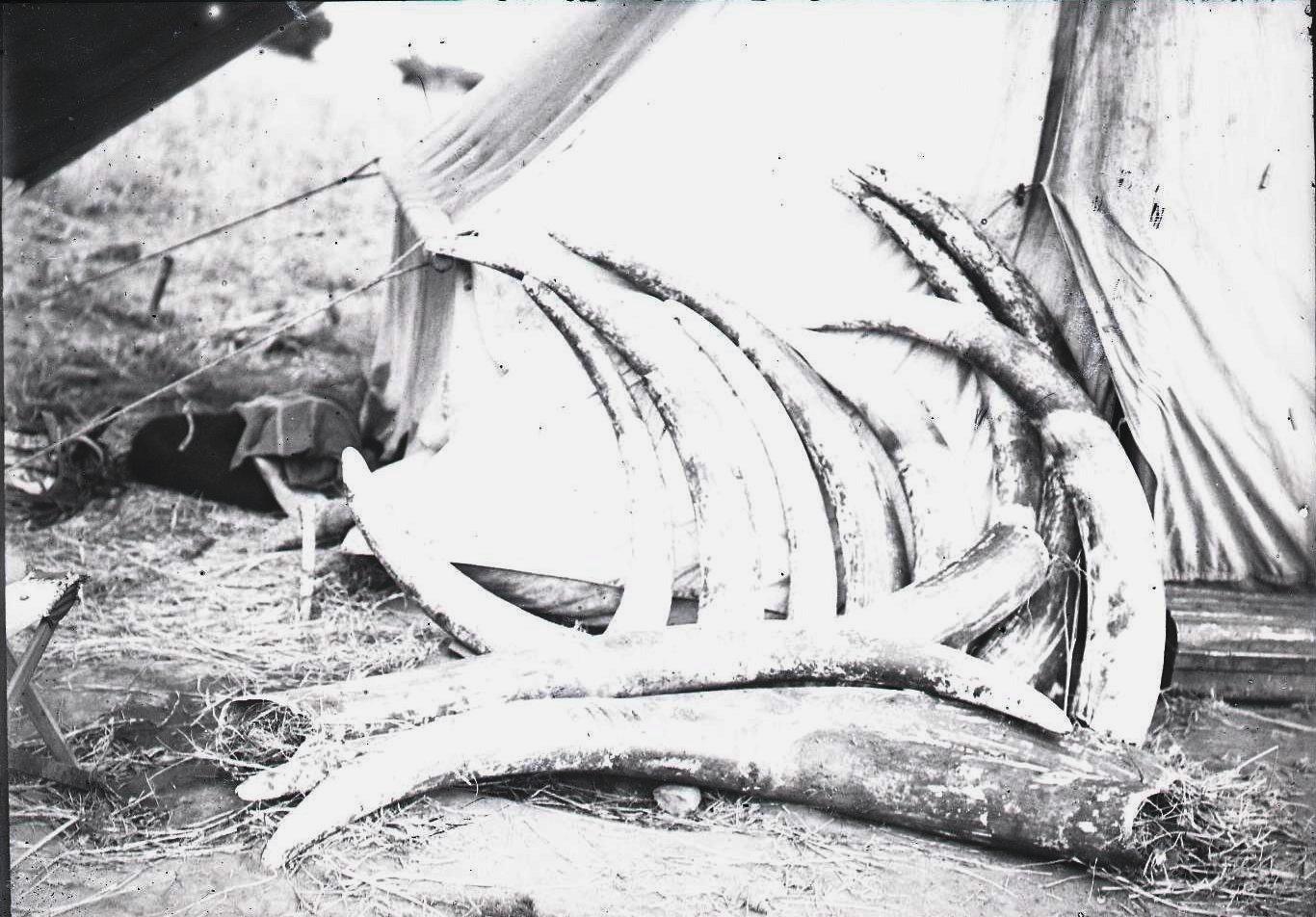 621.  Слоновьи бивни