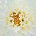White Dahlia, 10.11.19
