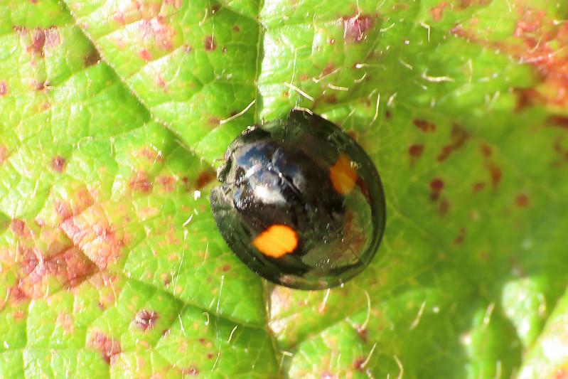 Kidney-spot Ladybird - Chilocorus renipustulatus