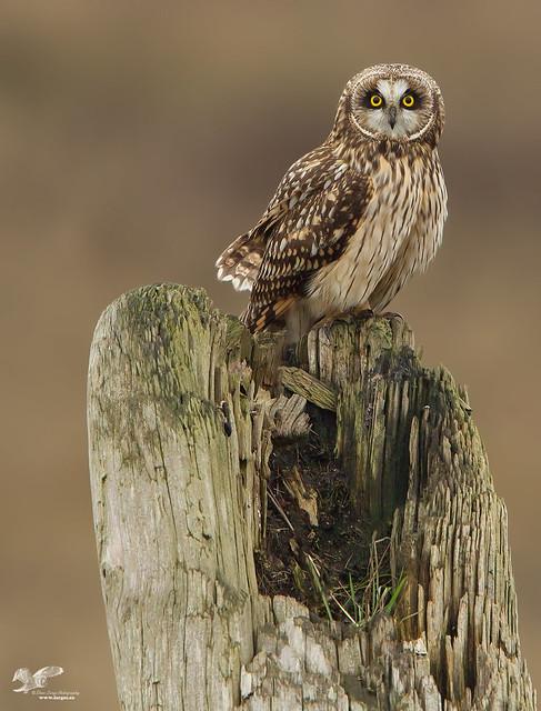 Boundary Bay Sentinel (Short-Eared Owl)