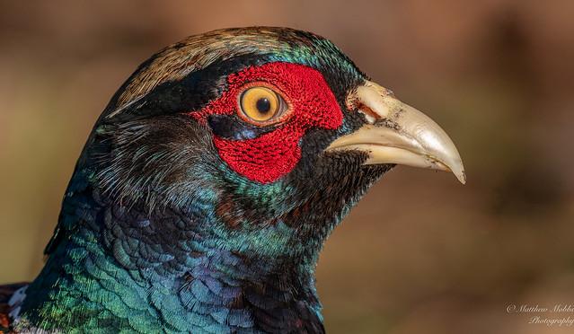 Cock Pheasant portrait