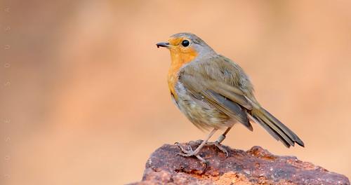 Pisco-de-peito-ruivo - Erithacus rubecula - European Robin