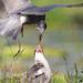 Open wide - Black Tern feeding a dragonfly (Chlidonias niger) Zwarte stern