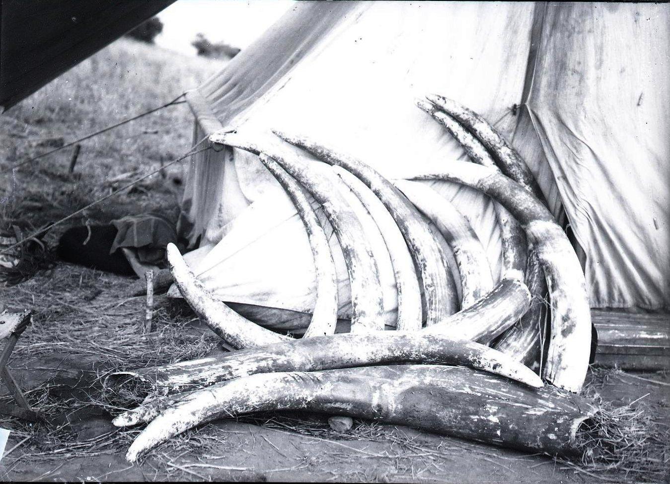 622.  Слоновьи бивни