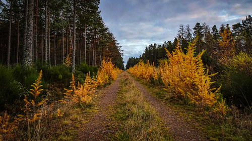tree trees wood woods woodland forest yellow gold green trunks leaves blackisle rosshire highlands scotland road track way path landscape outdoors