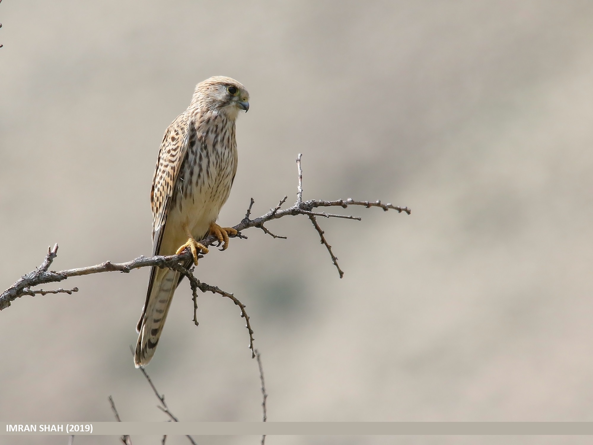 Common Kestrel (Falco tinnunculus)