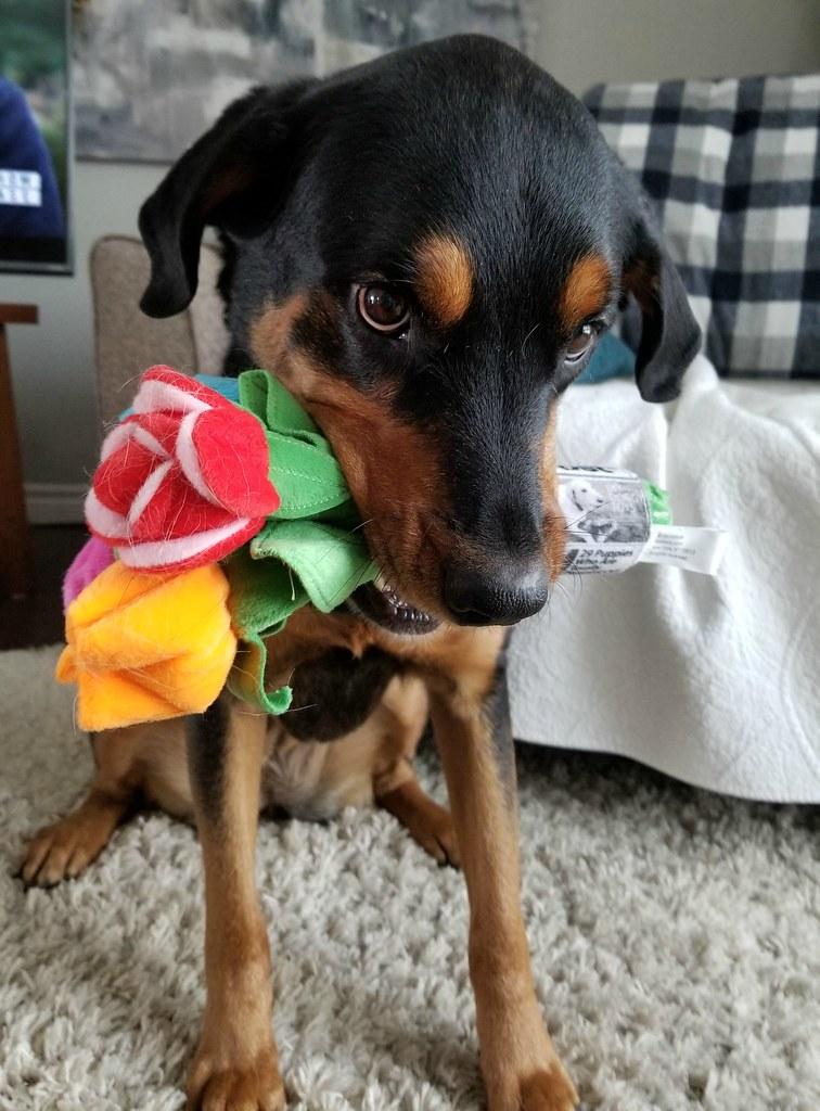 Rottweiler Sasha flowers