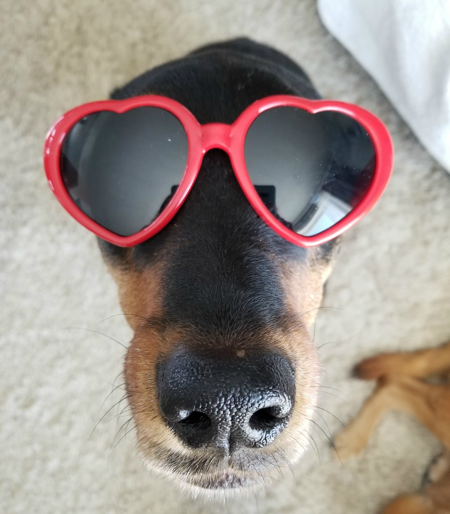 Rottweiler Sasha heart sunglasses