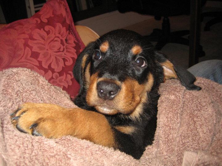 Rottweiler puppy Sasha