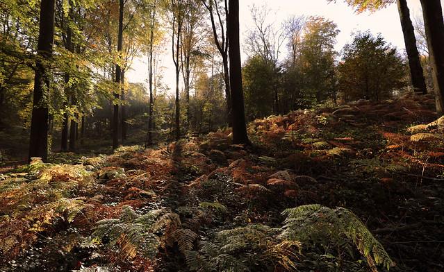 Fall in the ' Kluisbos'  -  Belgium