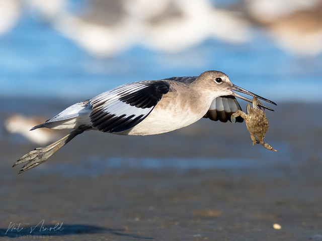 Willet with dinner
