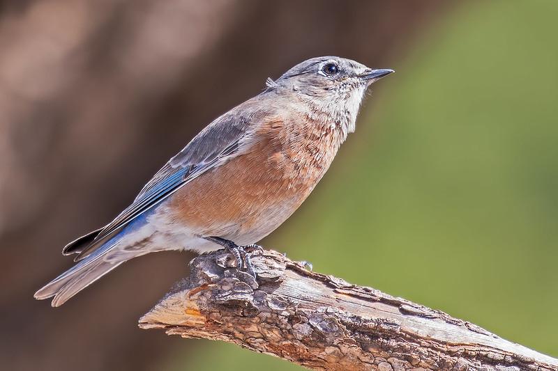 Western-Blue-Bird-45-7D2-093019