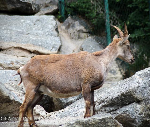 Alpine Ibex (Female) - IMG_2986 - Edited