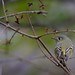 blue headed vireo -