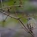blue headed vireo -